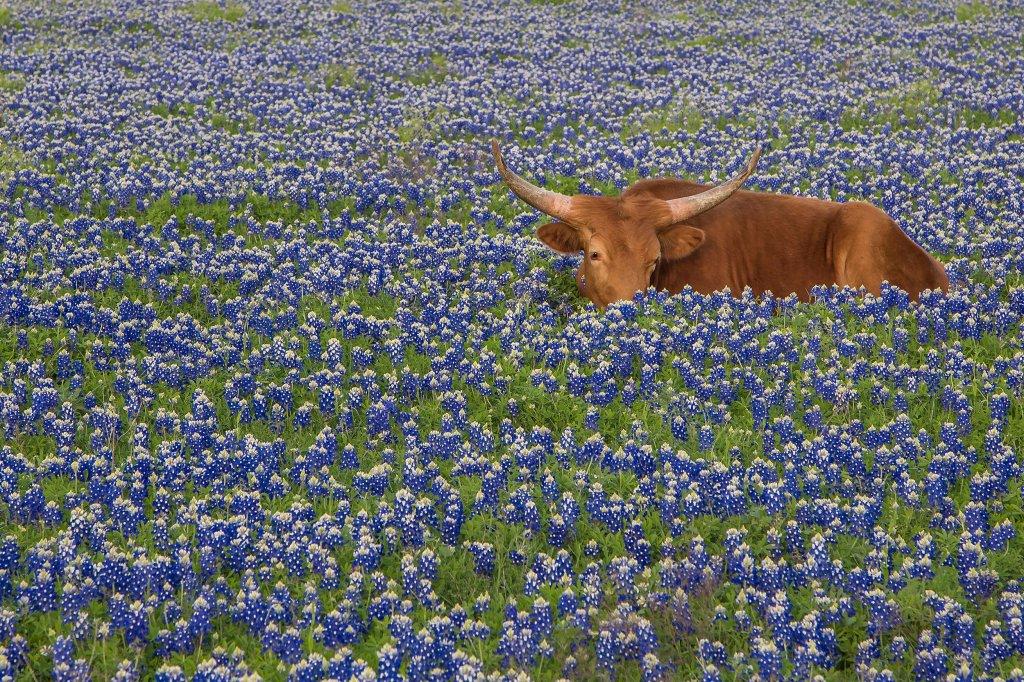 Champs de blue bonnets au Texas